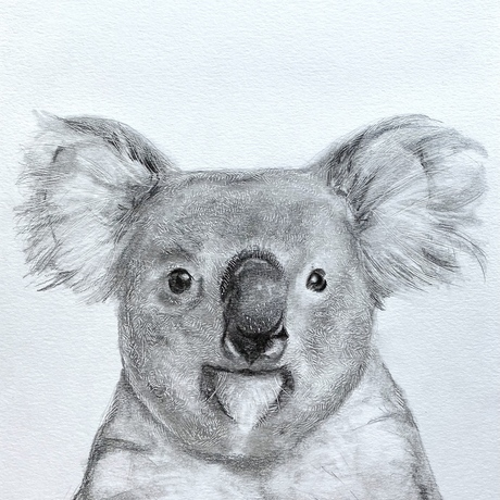 (CreativeWork) Koala - pencil and etching  by Charlotte Beddoes. Drawing. Shop online at Bluethumb.