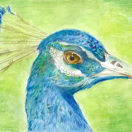 (CreativeWork) Proud Peacock- mixed media peacock painting   by Charlotte Beddoes. Watercolour. Shop online at Bluethumb.