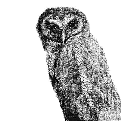 A black and white drawing of an owl