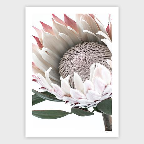 Limited edition floral photography of a beautiful Protea flower by Lauren Daly.