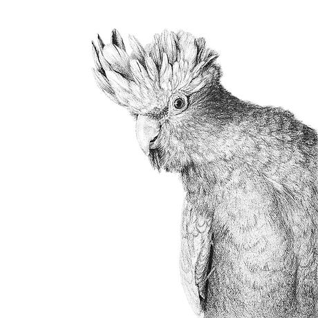 black and white pen drawing of Rose Breasted Cockatoo Galah parrot