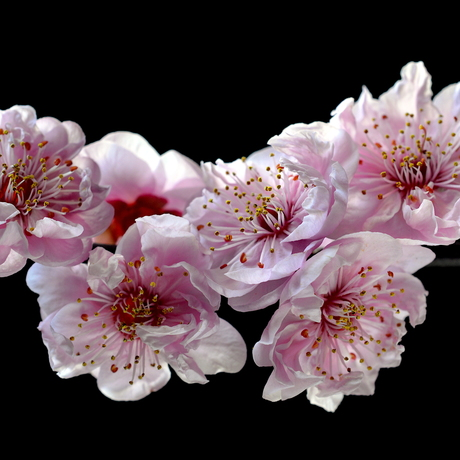 pink cherry blossoms on a black background