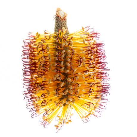 (CreativeWork) Banksia Light Ed. 2 of 50 by Shirley Steel. Photograph. Shop online at Bluethumb.