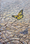 Monarch Butterfly over dry cracked earth