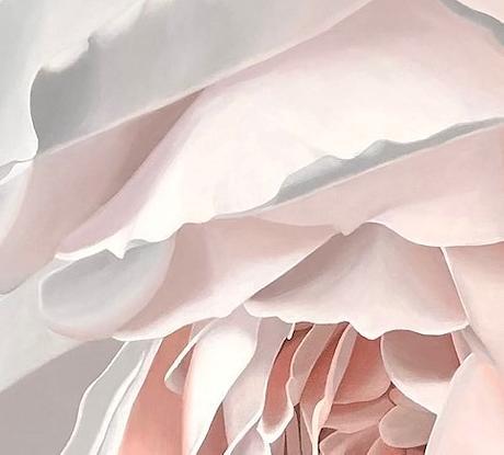 closeup white cream and peach rose