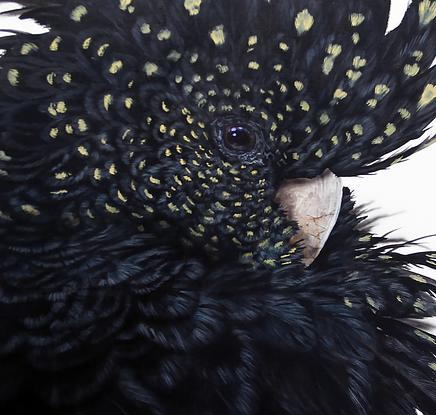 Red Tailed Black Cockatoo, head and shoulders portrait, preening.
