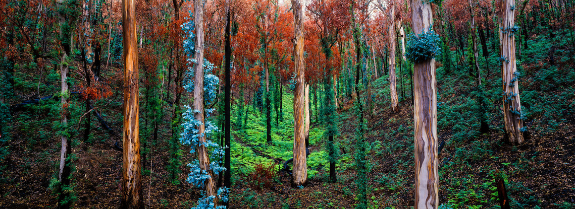 A vibrant, panoramic view of Australian bushland recovering from a major fire.