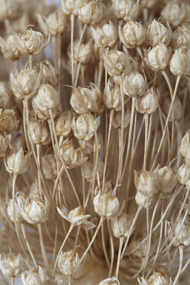 (CreativeWork) Garlic Flower Close Up Ed. 1 of 10 by Kate Lionis. Photograph. Shop online at Bluethumb.